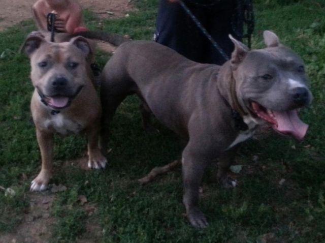 UKC PR American Pitbull Terrier puppies