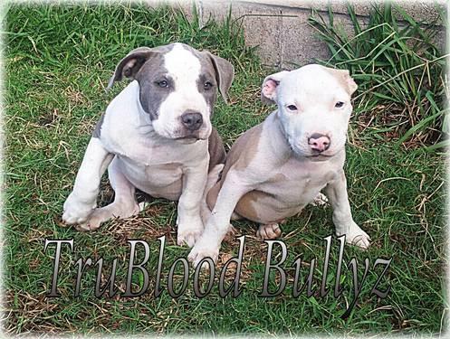 Ukc Purple Ribbon Pocket Pitbull Bullys
