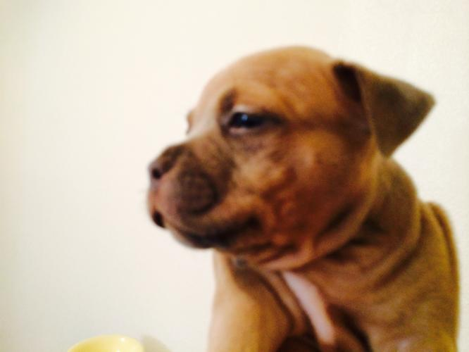 Ukc Razor Edge Pitbull Puppies For A Great Sale Price For Sale In