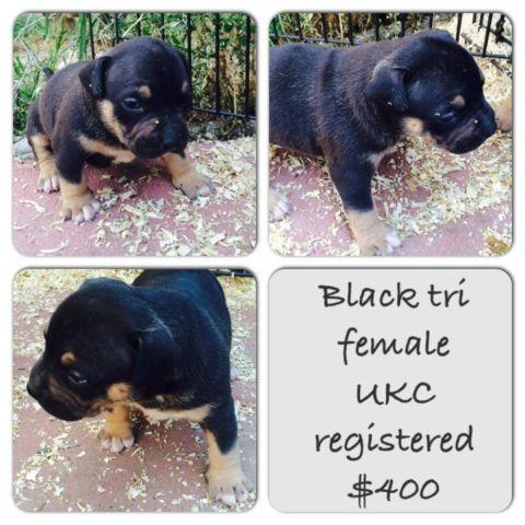 Ukc Registered Tri Colored Pitbull Puppies For Sale In Madera