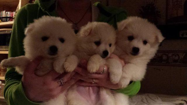 Ukc Toy American Eskimo Puppies For Sale In Friar Texas Classified