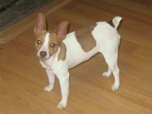 Ukci Mini Rat Terrier Pups 8 Weeks For Sale In Stites