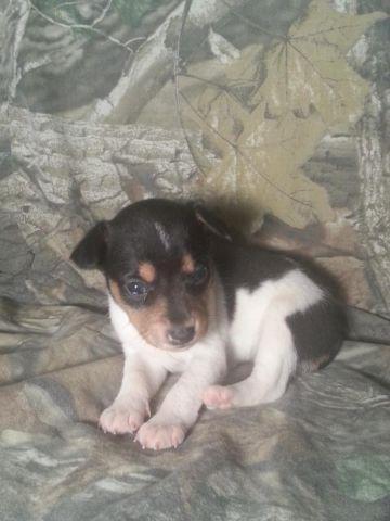 UKCI Rat Terrier puppies