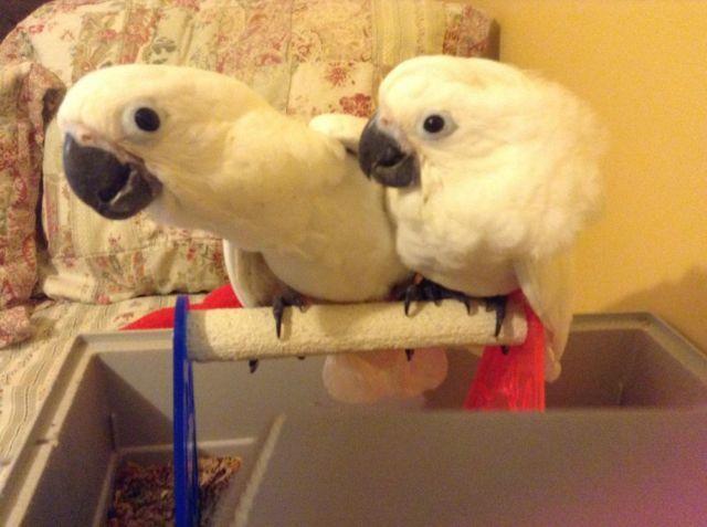 Umbrella Cockatoo Babies