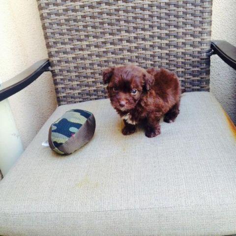 chocolate maltipoo puppies - photo #19