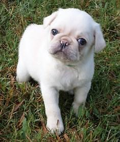 Unique WHITE PUG PUPPY!~Incredibly sweet and Playful ~