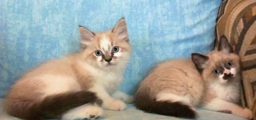 Uniquely Marked Himalayan Non Standard Munchkin Kittens