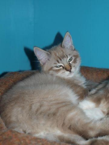 Unusual Lynx Point Mink Ragdoll - Purebred - Last in