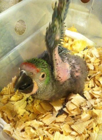 unweaned military macaw
