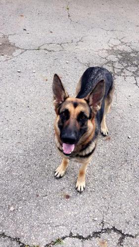 Up Coming Litter Of German Shepherd Puppies For Sale In Eaton Ohio