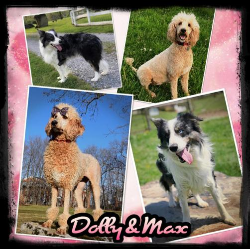 Upcoming Bordoodle Puppies Due May 24th!