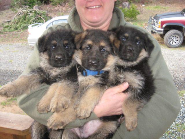 Pets And Animals For Sale In Wolf Creek Oregon Puppy And Kitten