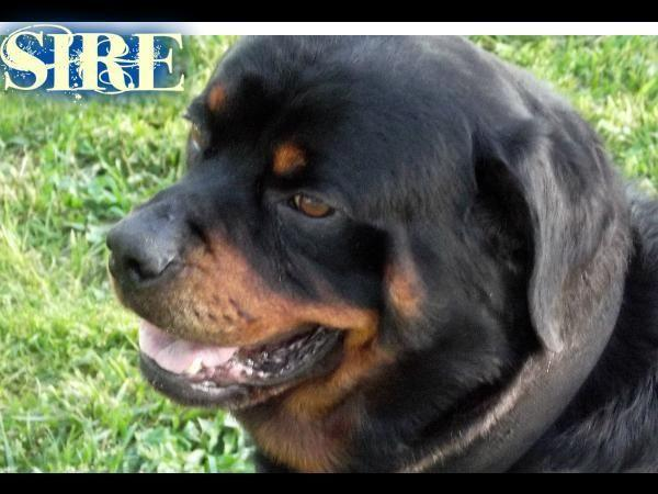 Updated Akc Rottweiler Puppies For Sale In Lynchburg Missouri