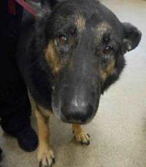 Urgent call for GMS!! German Shepherd Dog Adult Male