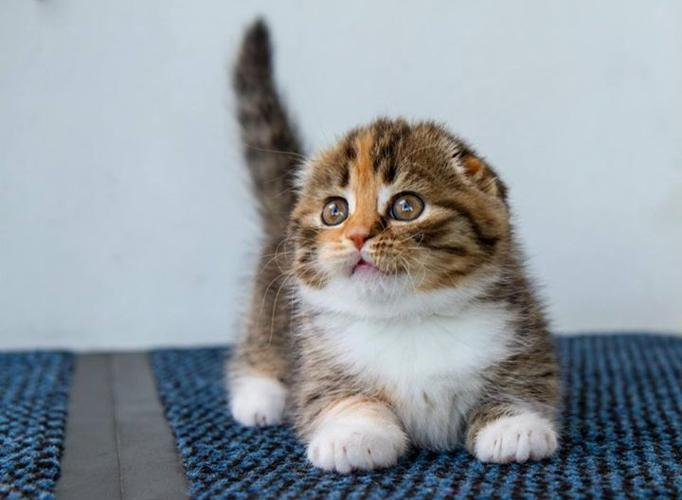 Images of Scottish Fold Munchkin Kittens - #rock-cafe