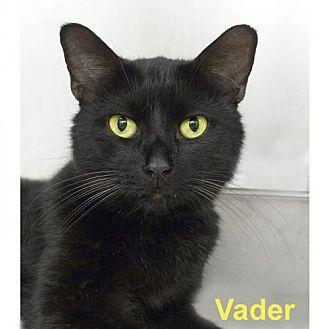 Vader Domestic Shorthair Adult Female