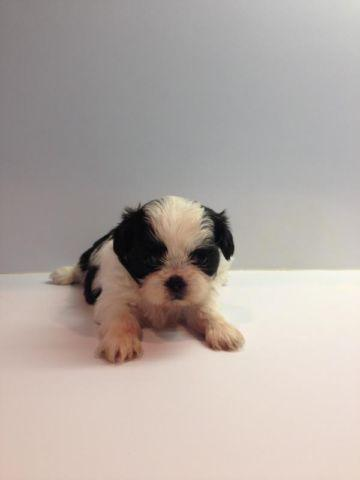 Valentines Shih Tzu Puppies For Sale In El Campo Texas Classified