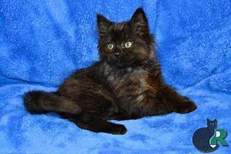 12cca12e3e9101 Vanellope Turkish Angora Kitten Female for Sale in Buford