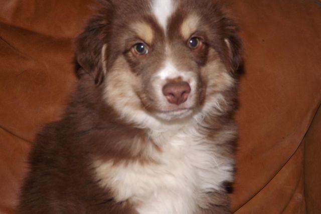 'Velvet' Miniature Australian Shepherd Puppy-Red Tri ...