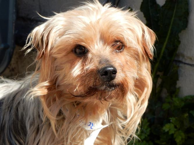 Venus Yorkshire Terrier Yorkie Adult Adoption Rescue For Sale In