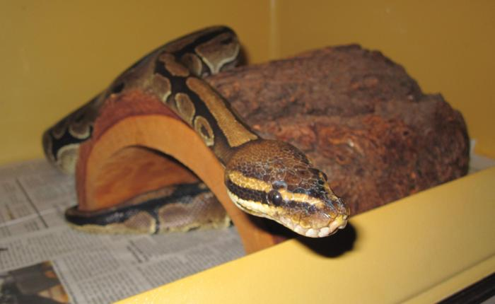 Vern Ball Python Adult - Adoption, Rescue