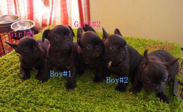 Very Beautiful AKC Blue French Bulldog Puppies