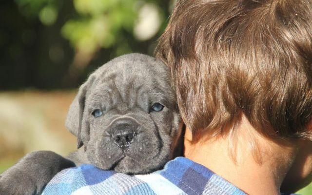 very cute aca reg cane corso puppies vancouver wa for sale in