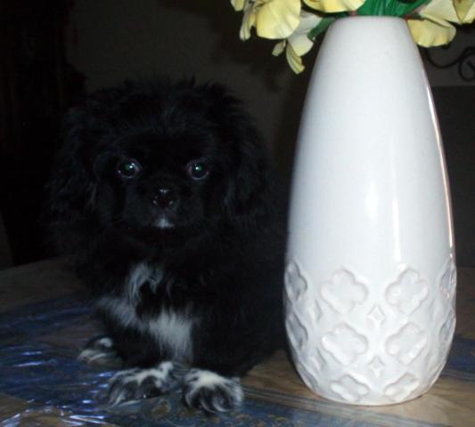 N.c. Pekingese Rescue Very cute AKC black ma...