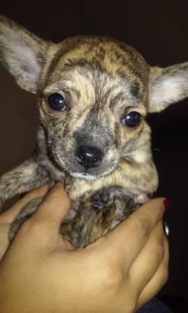 brindle chihuahua for sale very cute brindle chihuahua 8 weeks old for sale in tulsa 2116