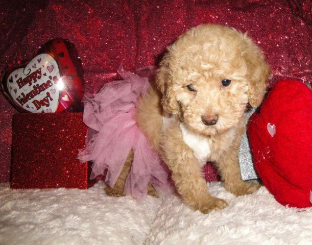 Very Cute CKC Toy Poodle Puppies for Sale