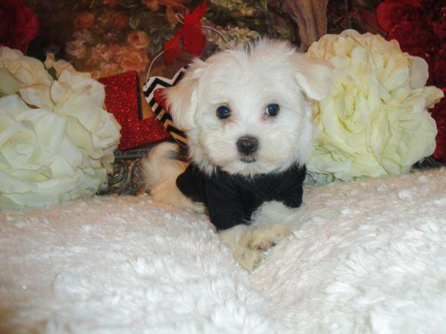 Very Cute Male Maltese puppies