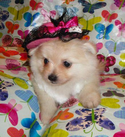 Very Cute Maltipom (Maltese and Pomeranian Mix) Puppy
