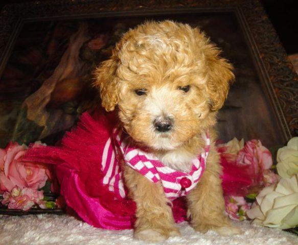 Poodle Puppies Mix Pets And Animals For Sale In Florida