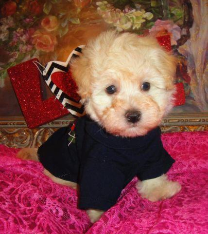 Very Cute Maltipoo Puppies Male