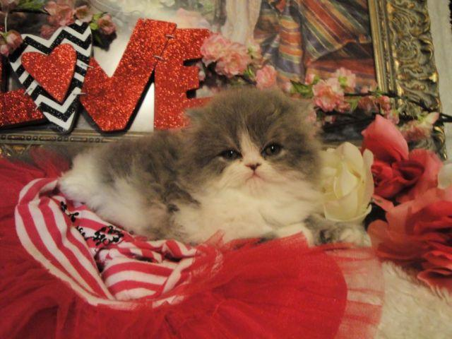 Very Cute Persian Kittens