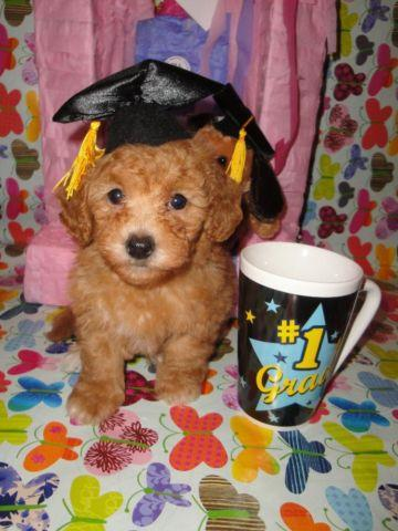 Very Cute Red Apricot Maltipoo Puppies
