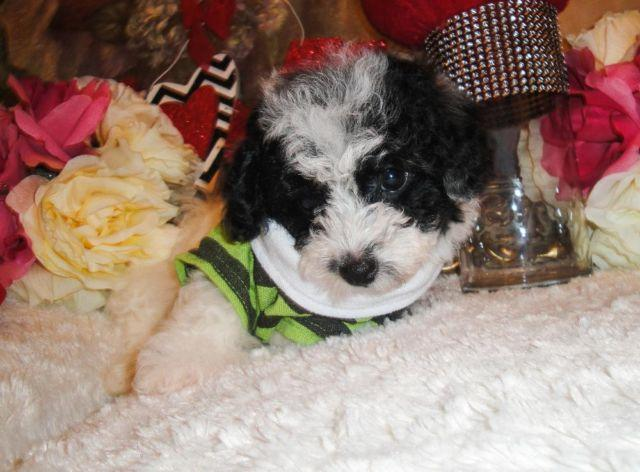 Very Cute Small Aldorable CKC Toy Poodle Puppies