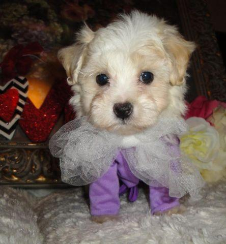 Very Cute Small Maltipoo Puppies