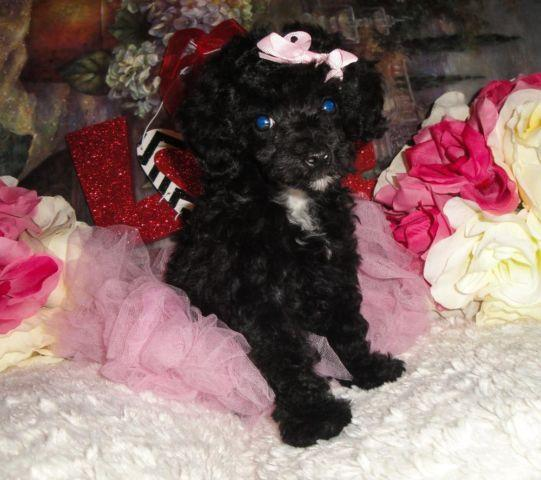 Very Cute Small Toy Poodle Puppies