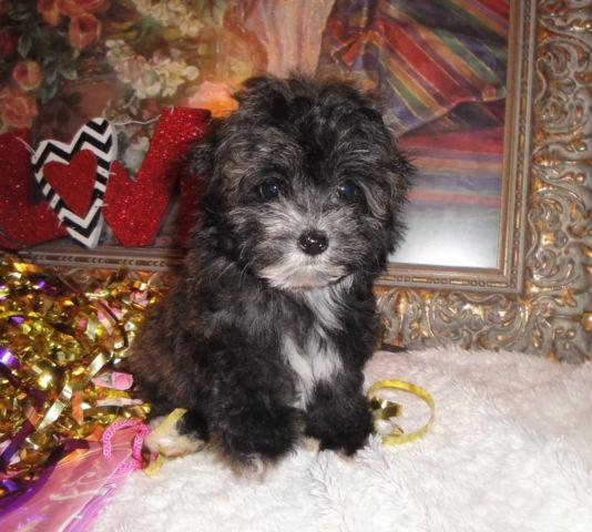 Very Cute Teacup Yorkipoo female (Yorkie and Poodle