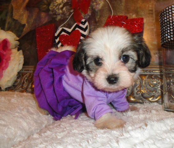 Very Cute Yorkipoo Puppies