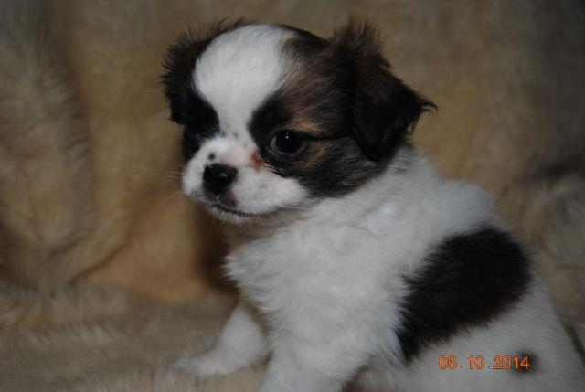 japanese chin shih tzu quot very lovable leslie quot japanese chin shih tzu mix for 4751