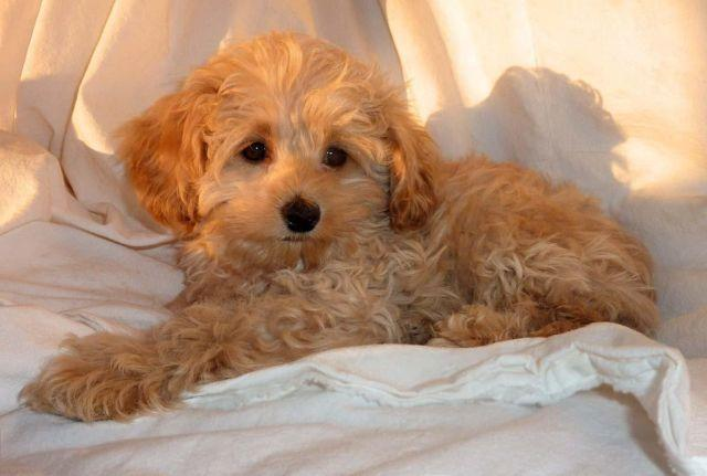 Very Small Size Adorable Cockapoo Puppies For Sale In Berkeley
