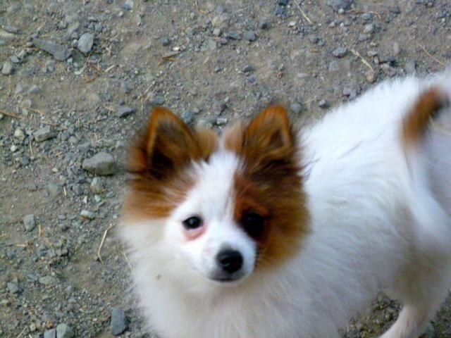 Very Smart And Spunky Five Month Old Male Pomjack Russell Mix For