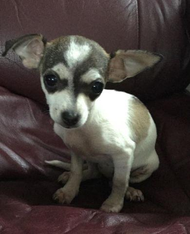 min pin chihuahua mix puppies for sale very sweet female chihuahua miniature pinscher mix for 7349