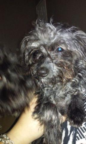 Very sweet poodle mix 7 months old females