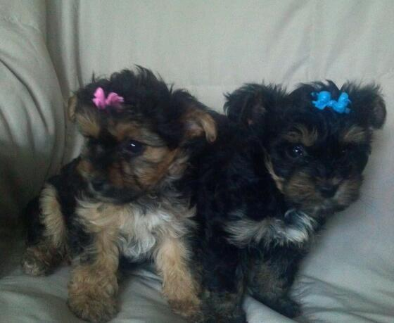 Very Tiny Micro Teacup Yorkiepoo Puppies