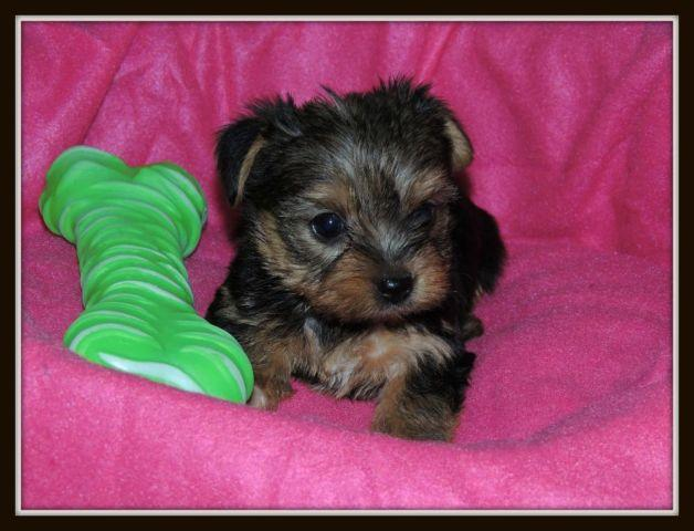 Very Tiny Pure Breed Akc Yorkshire
