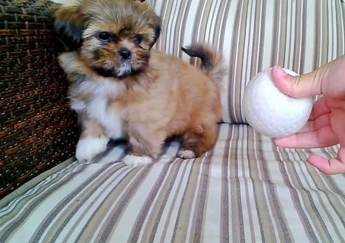 Very Tiny Shih Tzu Puppies For Sale In Ontario California