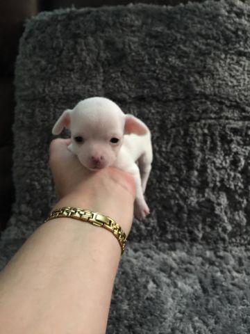 Very tiny Teacup Chihuahua puppies for sale